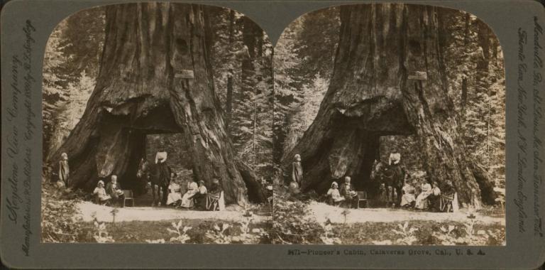 Redwood pioneer-cabin-tree