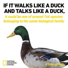 walks talks duck
